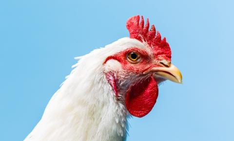 A eficiência da vacinação in ovo contra a doença de Gumboro