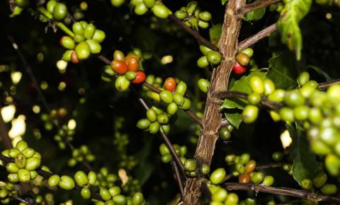 CMN remaneja R$ 1,3 bi para cafezais afetados por geadas
